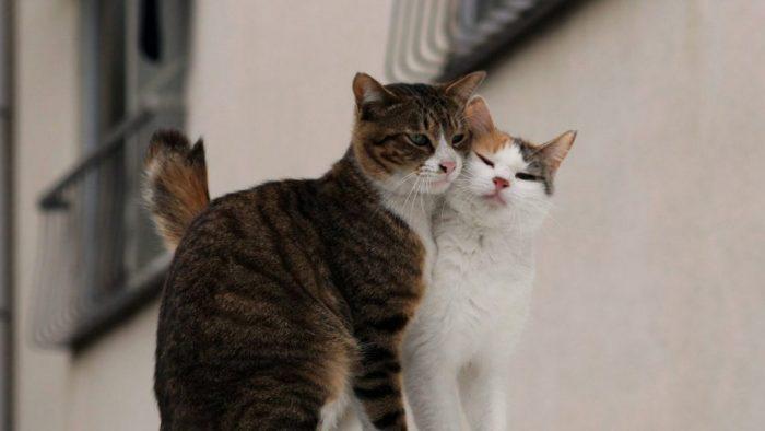 Влюбленные коты (100 фото)
